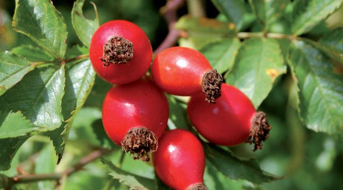 rosa-mosqueta-bacche-aromaterapia