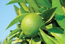 bergamotto-olio-essenziale